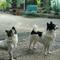 kintamani-jenis-anjing-indonesia-pertama-yang-diakui-secara-internasional