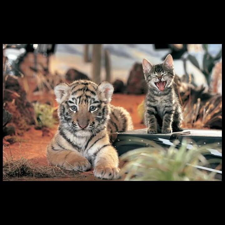 Alasan Kucing tidak memakan manusia, padahal masih saudara Harimau