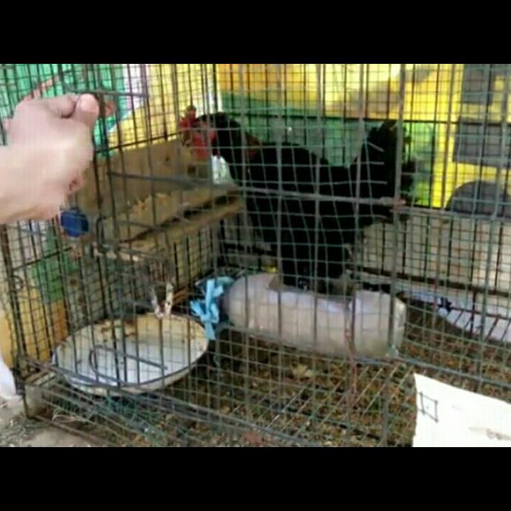 Tips Mudah Beternak Ayam Kampung dan Cara Membuat Tempat Pakannya dari Botol Bekas