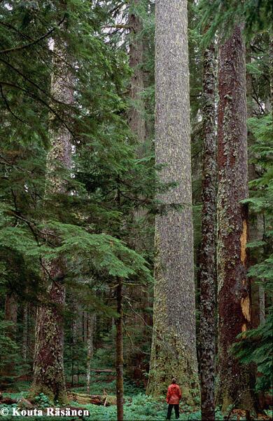 10 Pohon Tertinggi Di Dunia | KASKUS