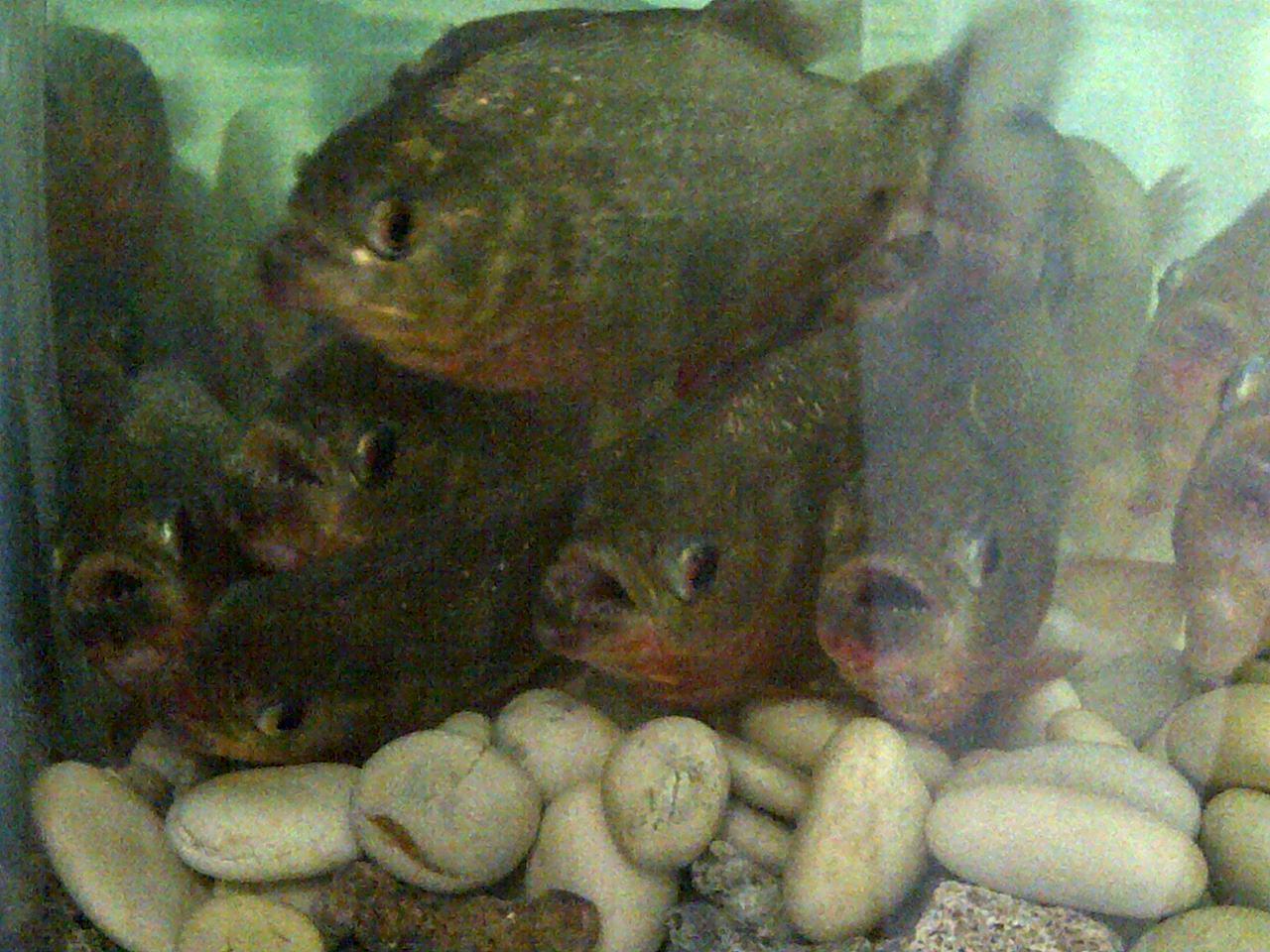 jual ikan piranha redbelly