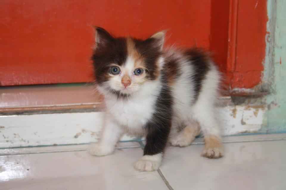 Gambar 7 Mudah Memberikan Makanan Anak Kucing Umur 1 Bulan