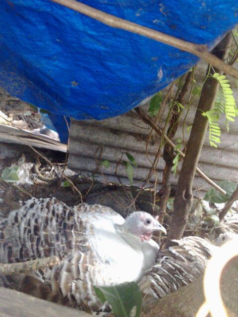 WTS Ayam Kalkun [Bogor]