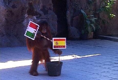 Orang Utan di Kebun Binatang Surabaya Ramal Italia Juara EURO 2012