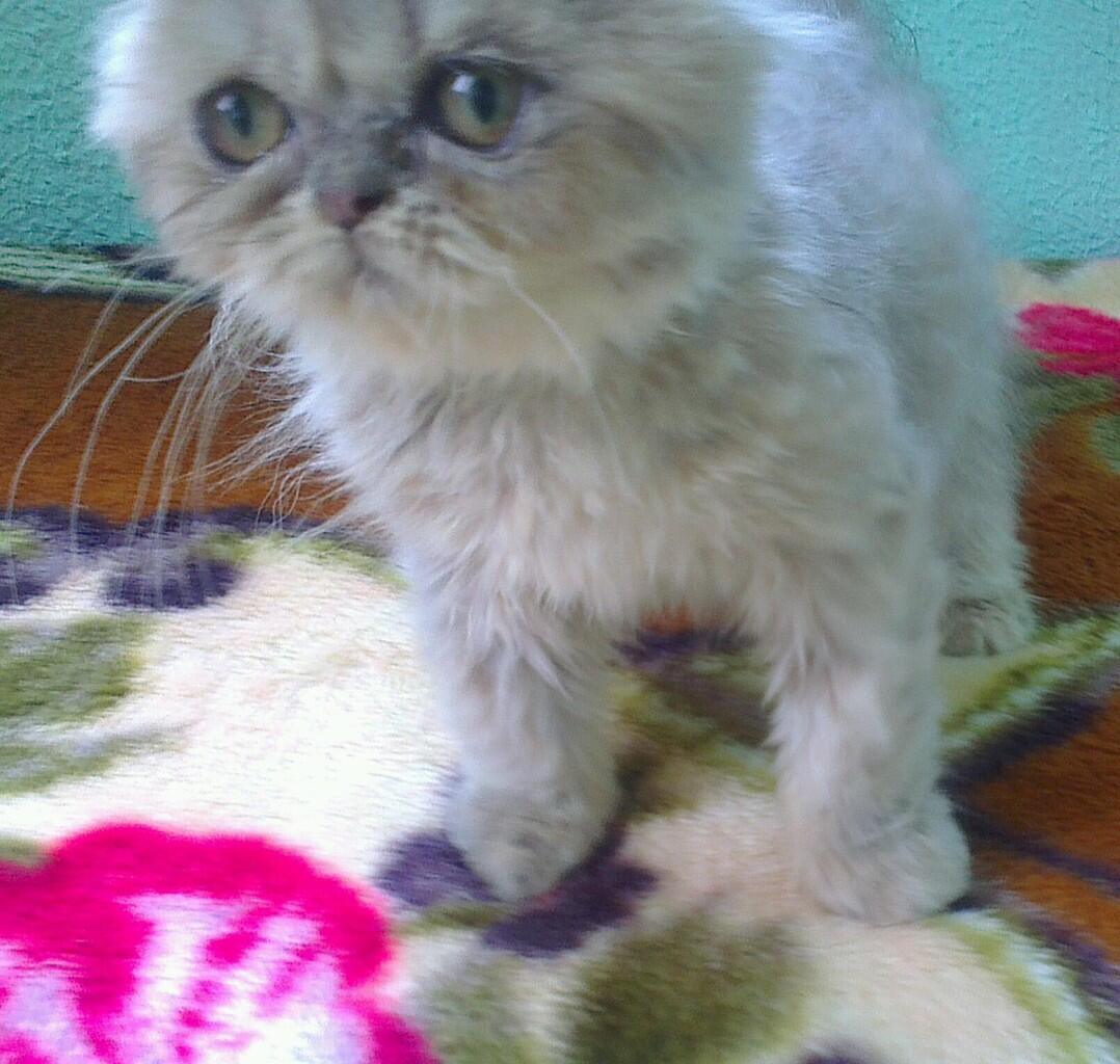 Kucing Persia Peaknose Umur 5 Bulan Harga Dan Cara Merawat