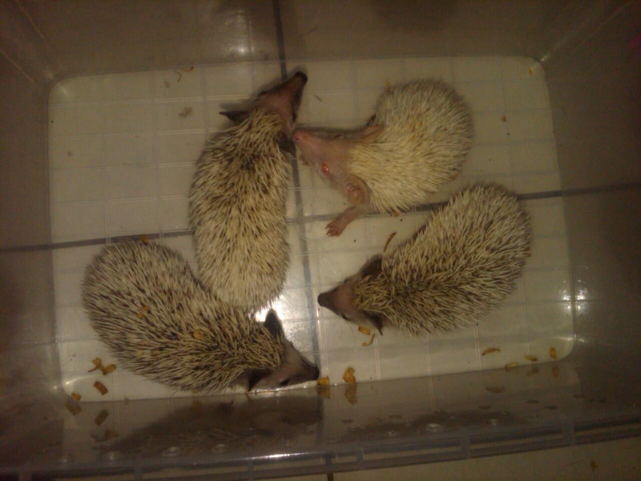 Hedgehog / landak mini hi snow charcoal