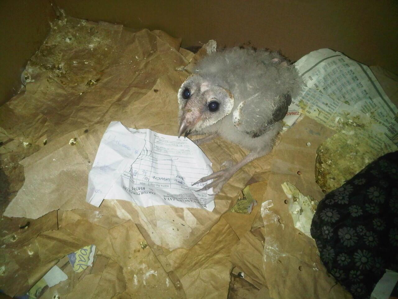burung hantu (barn owl) chick