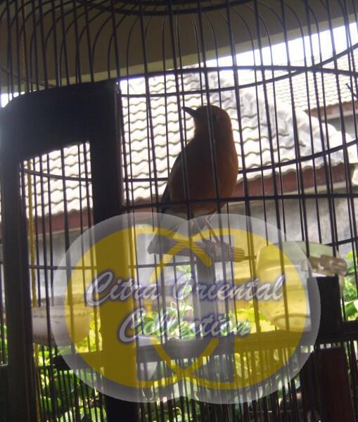 Aneka Burung Berkicau - Koleksi Kicauan Citra Oriental