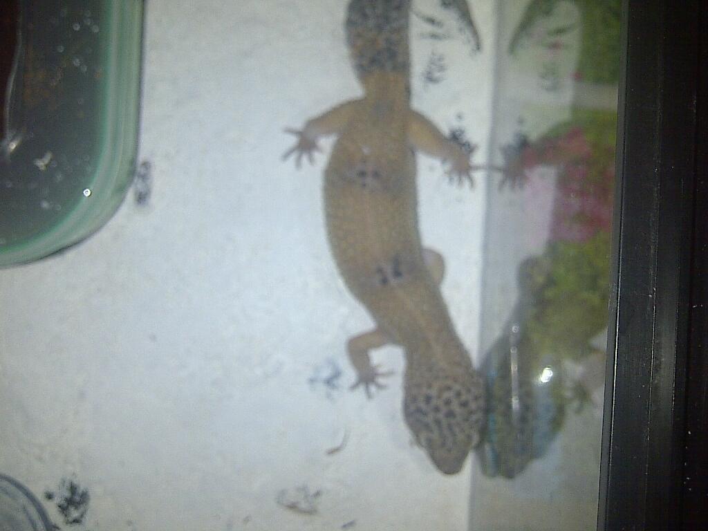 Aneka Gecko Juve - Adult