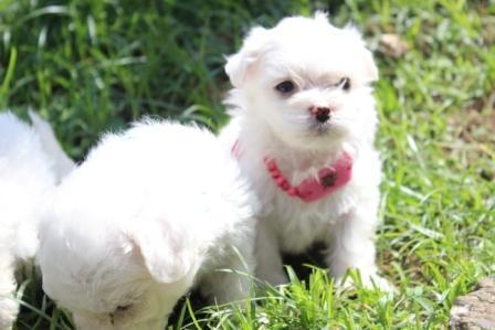 anak anjing maltese