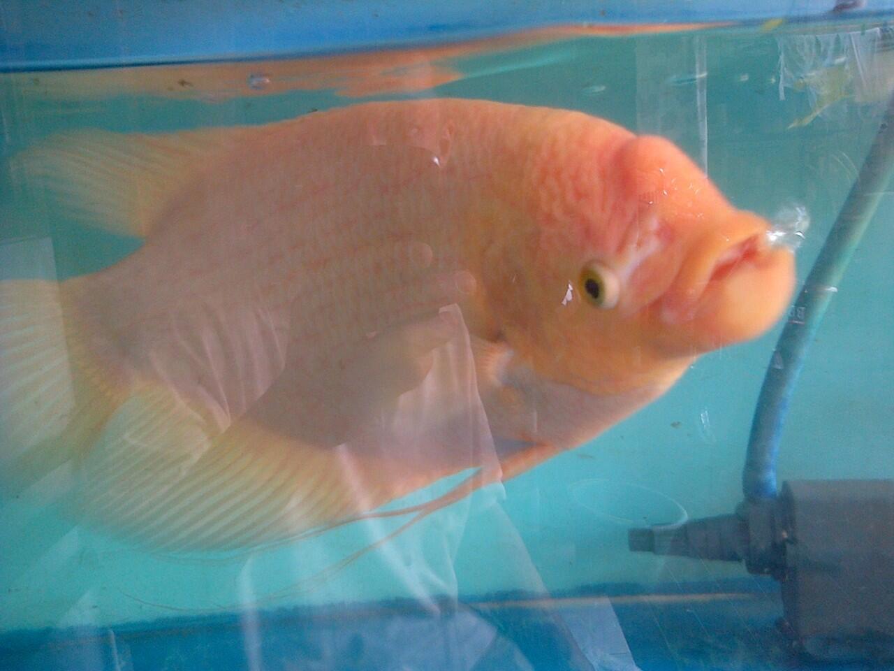 Ikan Gurame Padang indukan jantan