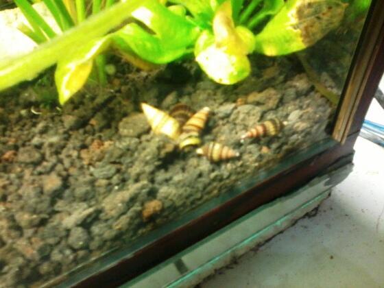 [WTS] Assasin snail