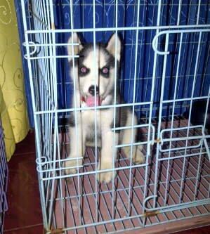 JUAL! Siberian Husky 3month