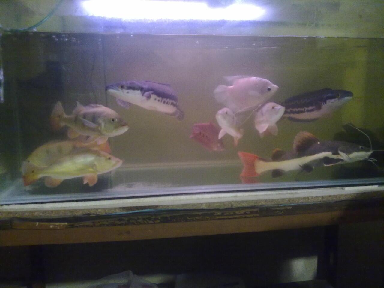 Suplaier ikan hias air tawar TERMURAH masuk gan!!!!