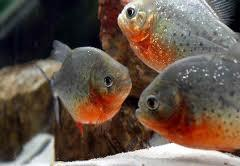 anakan piranha red belly