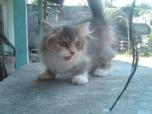 kucing persia calico betina