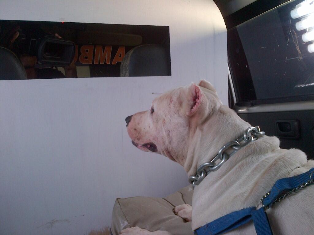 jasa pacak penjantan tangguh pitbull all white|stud service|depok