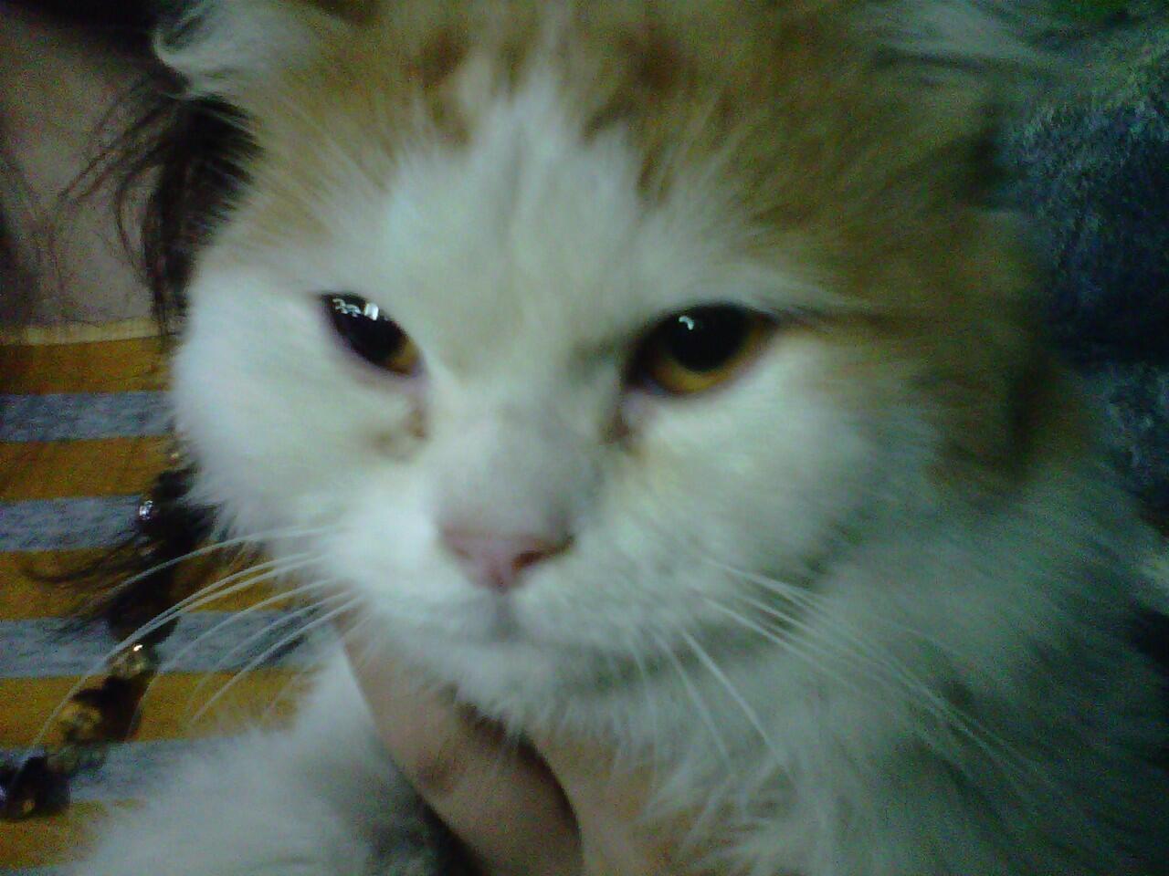 Jual Kucing Persia Medium Usia 7 Bulan+Kandangnya