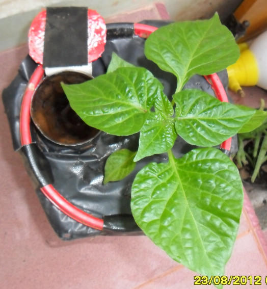 "Sub Irrigated Planter (SIP), Tanpa ""disiram"", Hemat Air, Hemat Waktu"