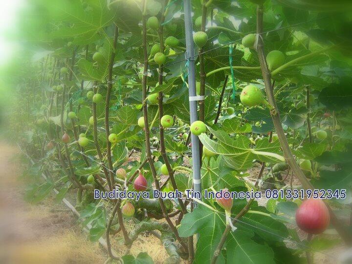 Pohon tin / bibit tanaman buah tin / ara / figs / buah bodhi / tanaman herbal obat