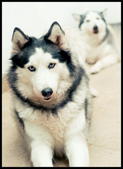 NEW! Siberian Husky Lovers - Read Page #1 for Update - Part 2