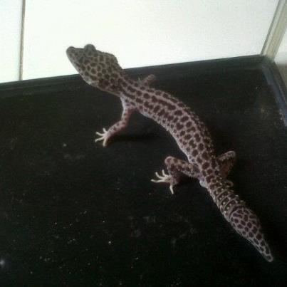 Jual Gecko Female indukan Gendut TANGERANG!