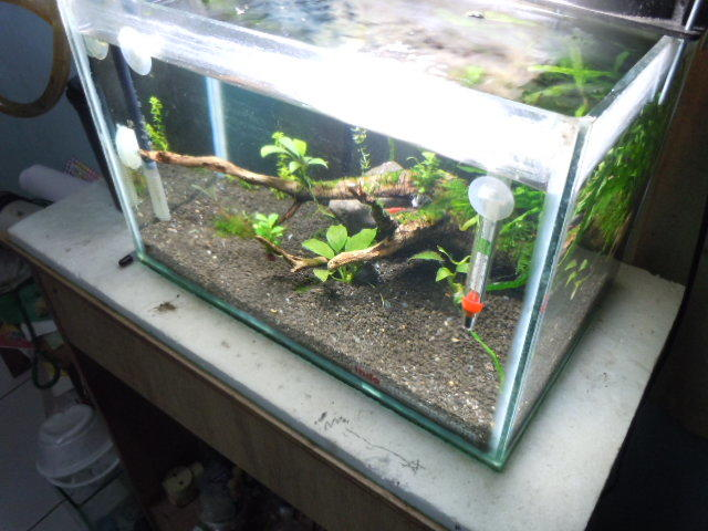 All about shrimp (red cherry, red bee, black bee, neocaridina, caridina, dll)