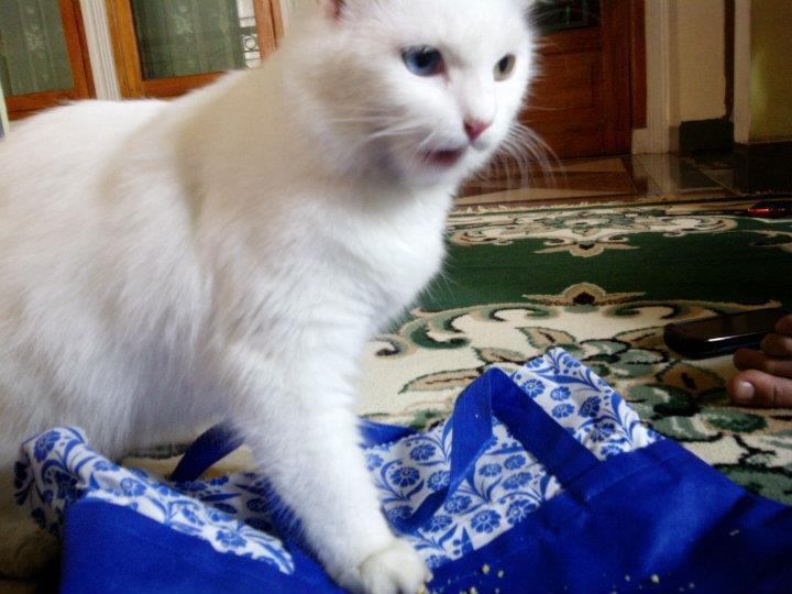 Kitten Persia 3 months white Male n Female SALE (Jakarta)