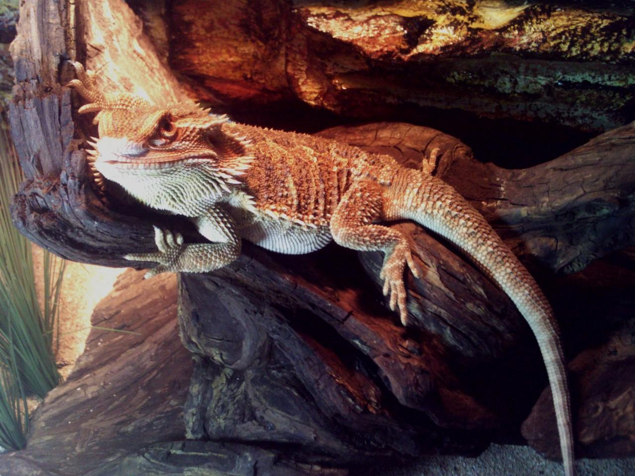 Bearded Dragon complete care... sharing aj..