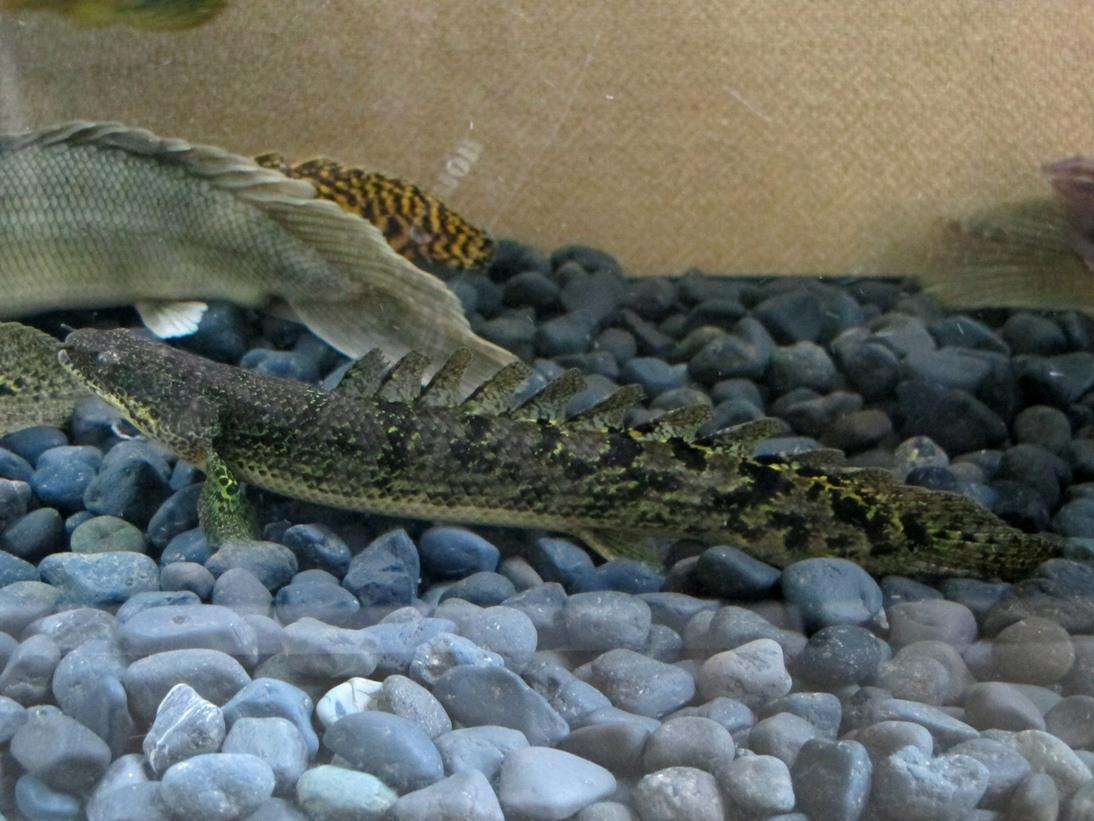Polypterus A.k.a Palmas Lounge Part II (Ask, Sharing, & Post Your Bichir Here!!!!!)