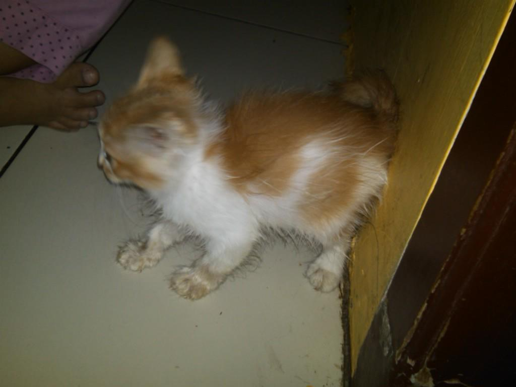 Kucing Persia Kitten 3 bulan