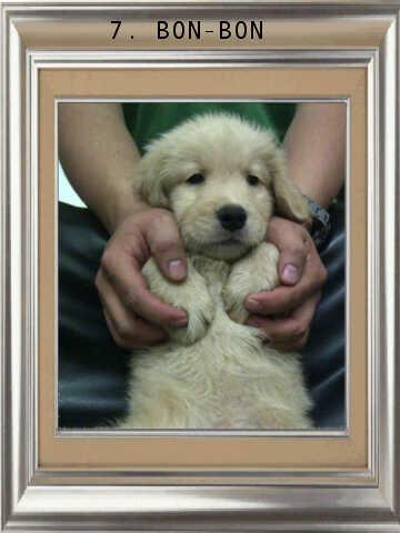 ******* Jual 7 Puppy Golden Retriever BANDUNG *******