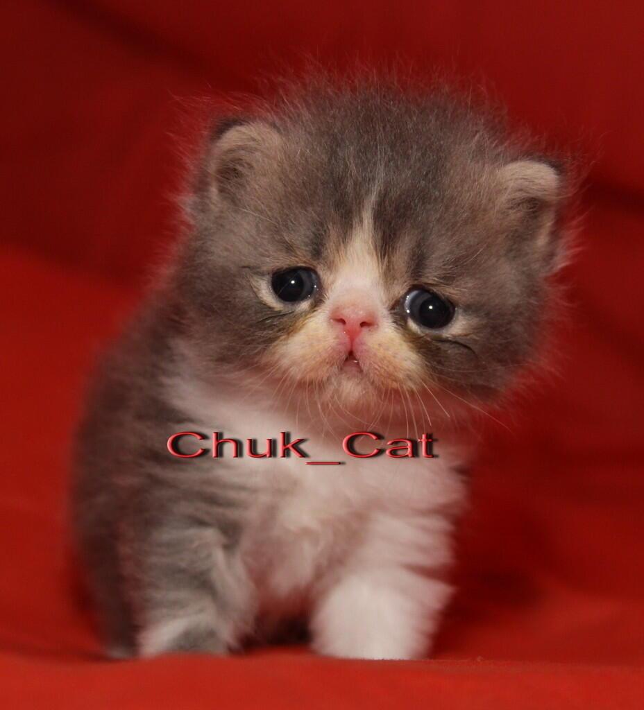 Kitten siap boked yogyakarta Jogja