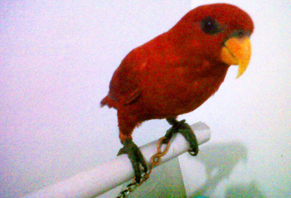 Nuri color scarlet (red) semarang