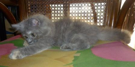 ANAKAN KUCING PERSIA MEDIUM IMUT&LUCU;