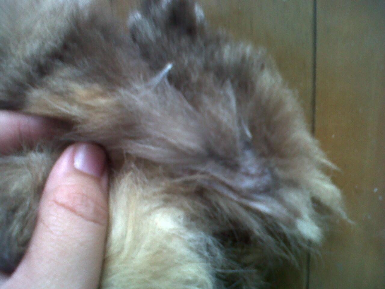 Kucing Persia Peaknose Betina 2 Tahun Murah
