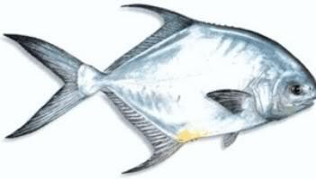 13 Jenis Ikan Kuwe Gtgiant Trevallyrs Kaskus