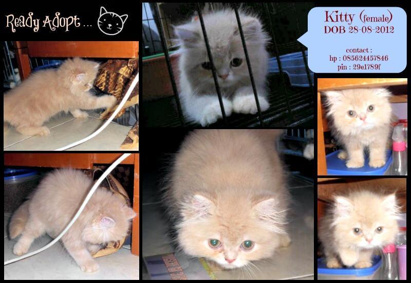 kucing kitten persia unyu unyu & murah bandung