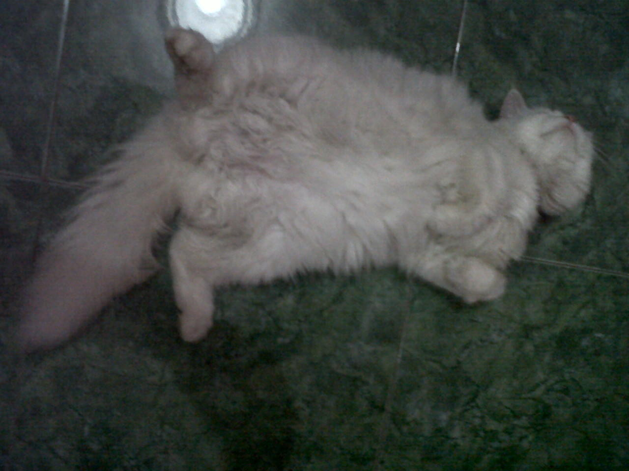 WTS Kucing Persia Medium Nose White