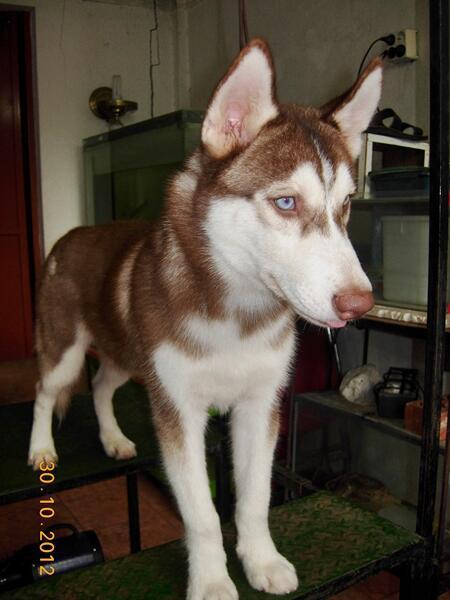 For Sale : Siberian Husky Jantan 6 Bulan Cucu Champion + Import MURMER !!