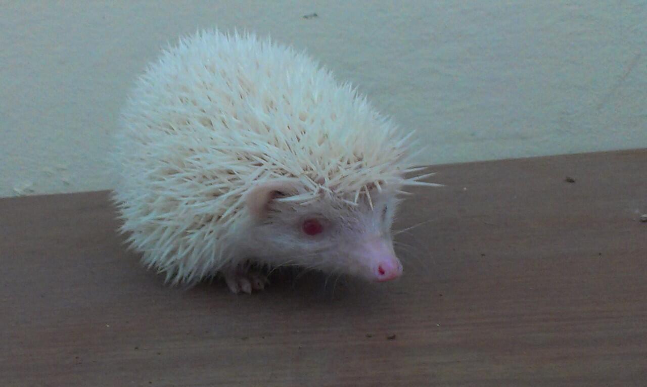 Jual Landak Mini ( Hedgehog ) - Bandung