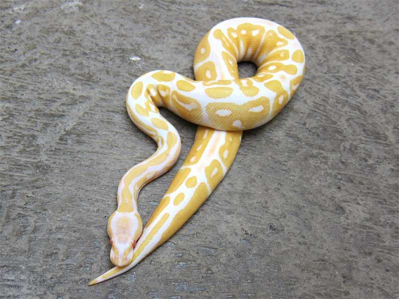 wts: ball python morph albino, fire, dll