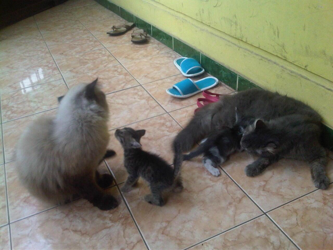 kucing persia ready adopt medium (himalaya - persia)