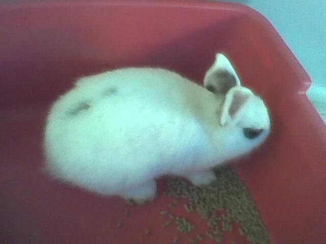 baby kelinci dwarf hotot