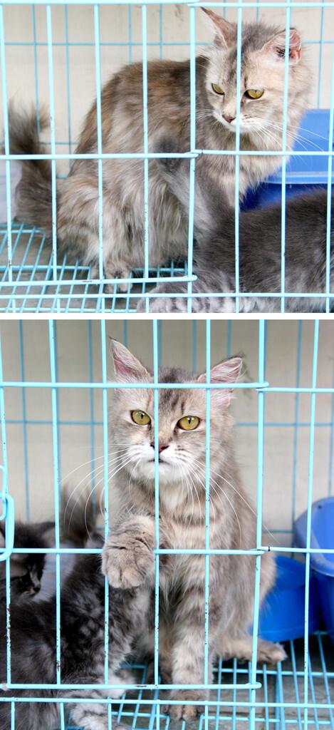 Dijual kucing Persia anakan Grey 2 bulan jantan Jogja