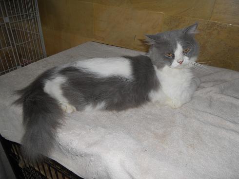 Kucing Persia Dewasa