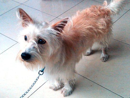 Anjing Australian Terrier Lucu Lihat Gan