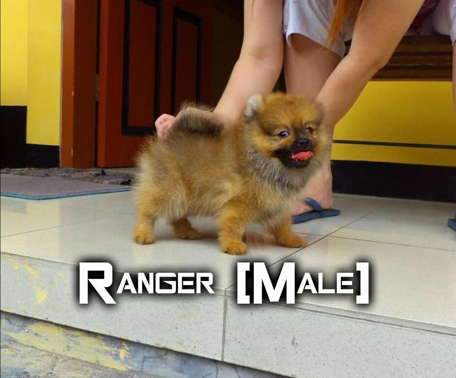 Jual Mini Pomeranian