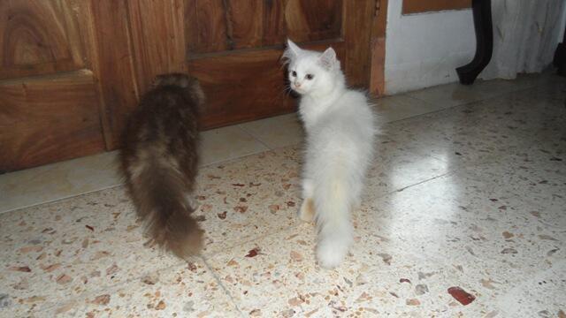 kucing persia kediri