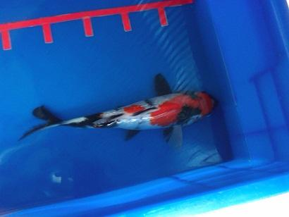Ikan koi Jumbo